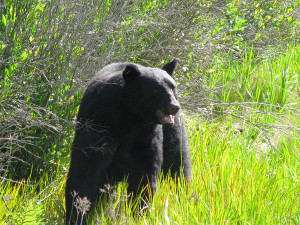Black-Bear-rescue-13